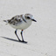 snowy plover 8.22 gulf islands seashore fort pickens larger