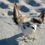snowy plover_preview photo