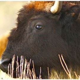 I Dream of Bison