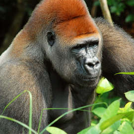 Gorilla Tourism: Mountain Gorillas Up Close