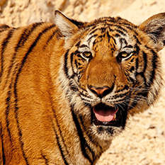 Tiger Tourism: Can Travel Help Save These Big Cats?