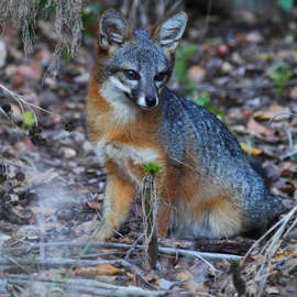 The Remarkable Comeback of the Channel Islands Fox