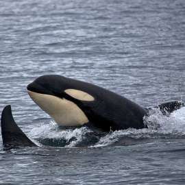 Fighting for the Rights of Southern Resident Orcas