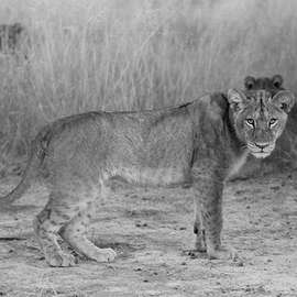 Ghosts in the Grass: The Last Lions of Africa
