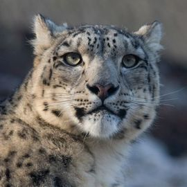 Peaceful Coexistence: Snow Leopards and Humans Share Pakistan's Mountains