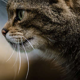 Scottish Wildcats: The Endangered Feline of Britain