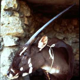 The Last Unicorn: William deBuy's Search for the Elusive Saola