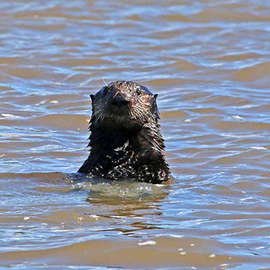 Studying Sea Otters at Elkhorn Slough