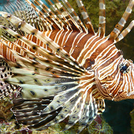 The Specter of Lionfish: Coping with an Invasive Species