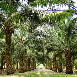 Of Palm Oil and Extinction