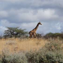 Protecting the World's Giraffes