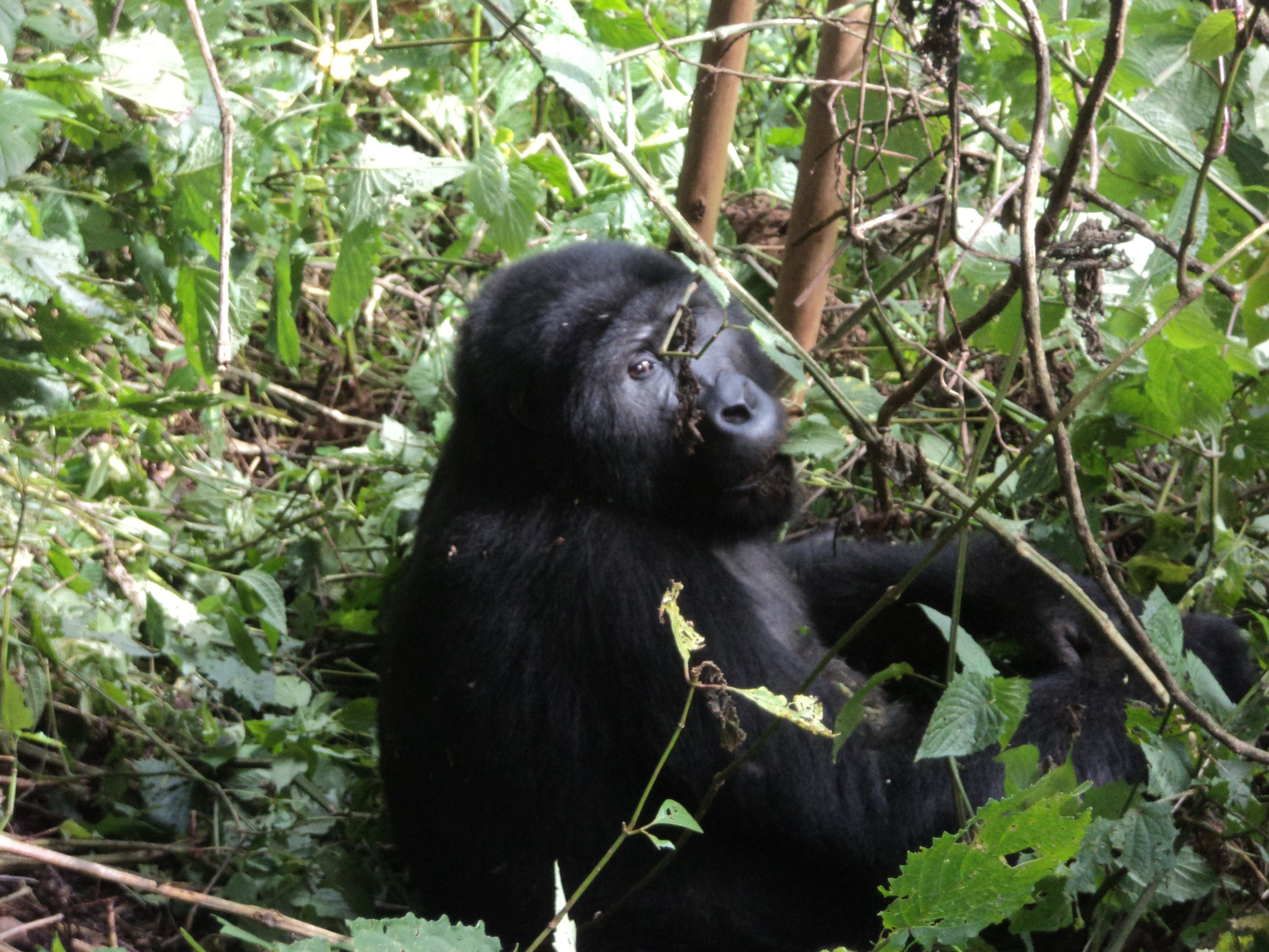 mountain gorilla essay