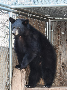 Spoke with ramsay the evening before the bear was euthanized. ramsay