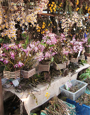 Dendrobium spp. orchids wild-collected in Myanmar, Thailand and Lao People's Democratic Republic, for sale at a popular border market between southern Thailand and Myanmar.